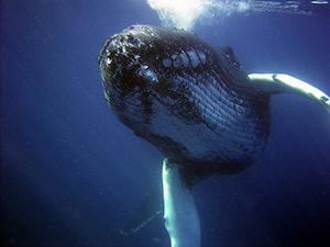 chasse-baleine-japon-rorqual-01