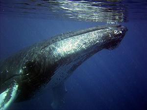 chasse-baleine-japon-rorqual-02