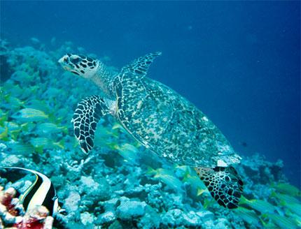 tortue-maldives
