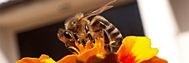 les plantes qui aident les abeilles. Black Bedroom Furniture Sets. Home Design Ideas