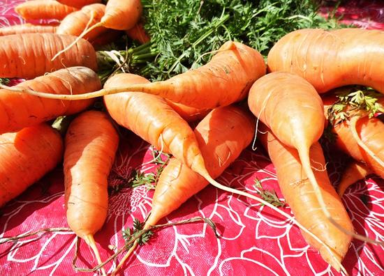 carottes-vision