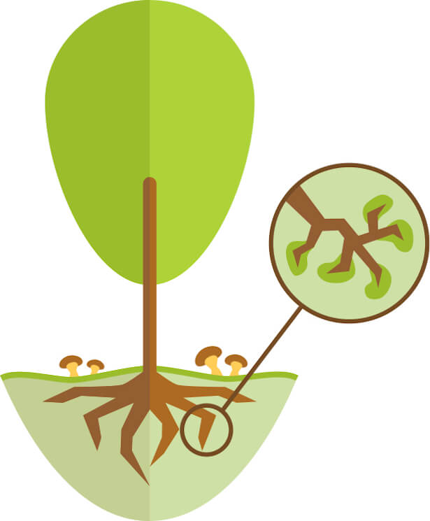 jardin mycorhizes