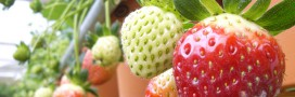 Fraises contaminées aux pesticides et perturbateurs endocriniens