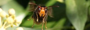 Frelon asiatique : une arme anti-frelon interdite