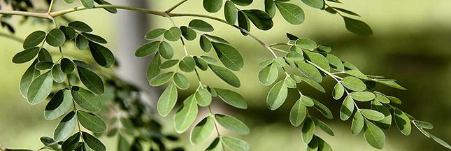 Le moringa, l'arbre aux mille vertus santé