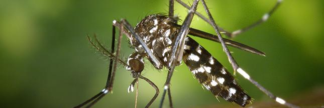 Un moustique génétiquement modifié contre les moustiques