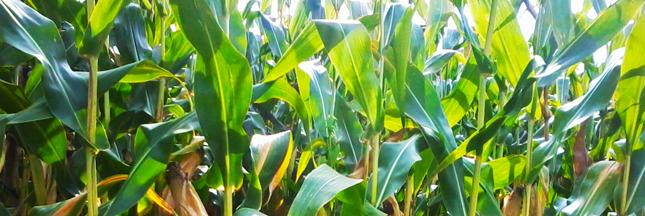 OGM : le maïs MON810 de retour dans les champs en France ?