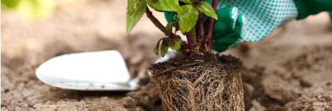 Moins d'eau et moins d'engrais au jardin grâce aux mycorhizes