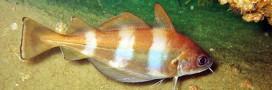 Le tacaud, poisson méconnu à la chair fine et délicate