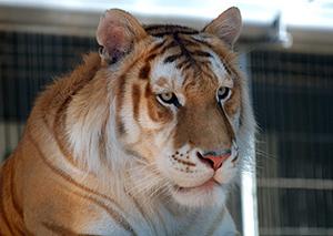 tigre-bengale-blanc-02