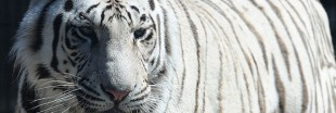Tigre du Bengale : la belle vie à Katmandou