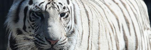 Tigre du Bengale: la belle vie à Katmandou