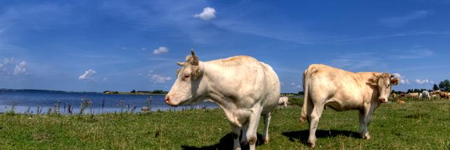 De la viande bovine tuberculeuse aux portes de la France ?