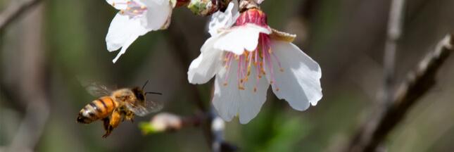 abeille pollinisation amandier