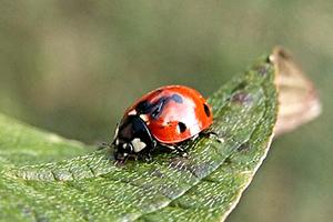 coccinelle-insecte-jardin-lutte-biologique-01