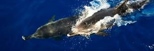 """Le dauphin, """"personne non humaine"""" en Inde"""