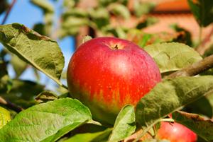 pommes-rechauffement-climatique-branche