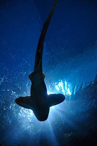 requin-marteau-ocean-mer
