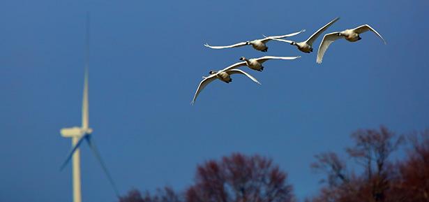 oiseaux éoliennes mort