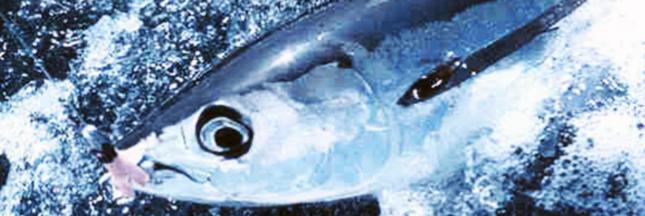 Le thon blanc, pas si propre que ça