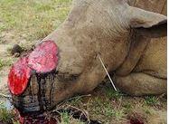 rhinoceros-braconnage-sans-corne