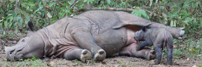 Les derniers rhinocéros du Mozambique ont été tués