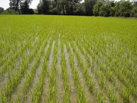 Rizière bio au stade du tallage du riz (Camargue) image Inra.