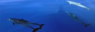 Une nouvelle espèce de dauphin découverte à La Réunion