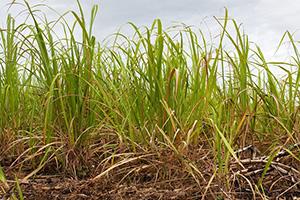 agriculture-canne-a-sucre-plantation béton écologique