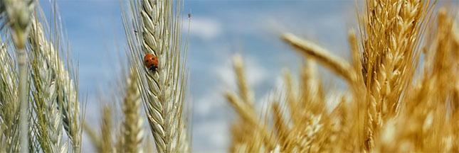 Blé dur, blé tendre : quelles différences ?
