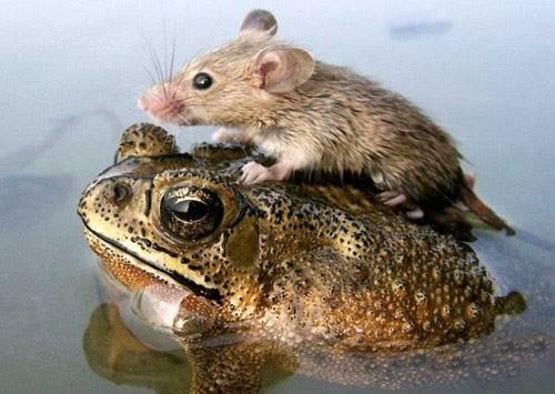 drole-couple-grenouille