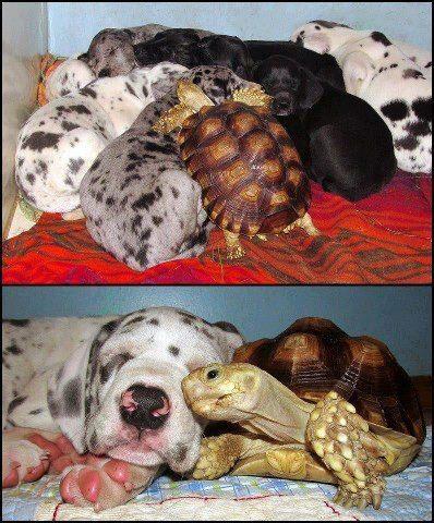 drole-couple-tortue
