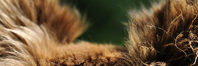 Animaux : une première interdiction de la fourrure aux Etats-Unis