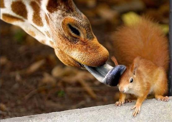 girafe-ecureuil
