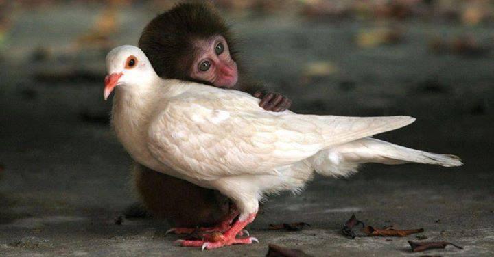 singe-dove