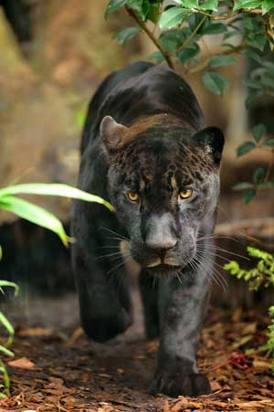 Jaguar ® F-G Grandin MNHN