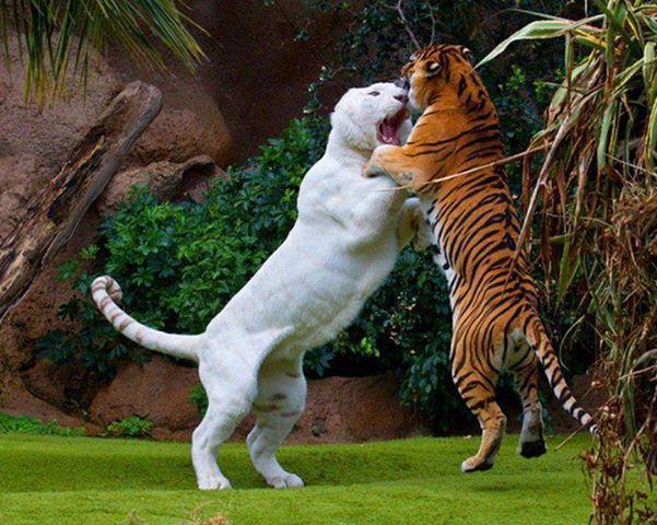 deux-tigres