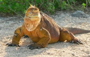 Iguane amazonie