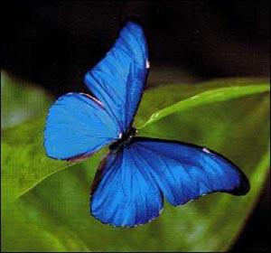 Papillon tropical amazonie