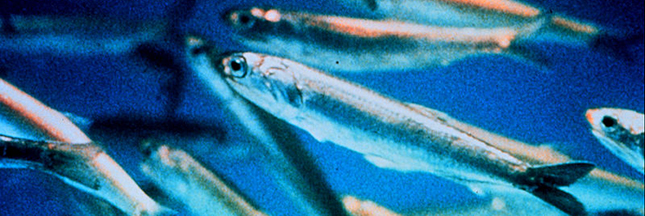 Alimentation: Homme et anchois, même combat