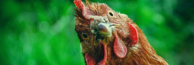 poulet label rouge volaille