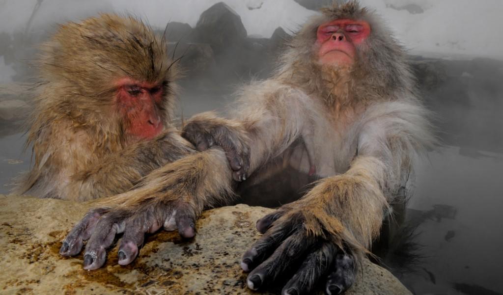 merveilles-nature-singe-face-rouge