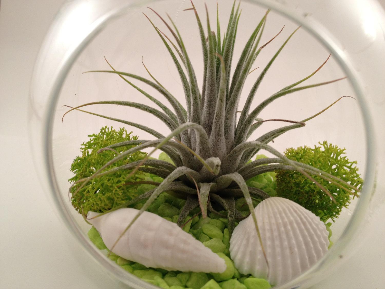 Tillandsia ces myst rieuses plantes sans racine page 3 - Plante sans terre ...