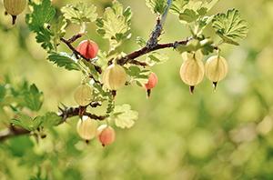 arbre-jardin-groseiller-a-maquereau