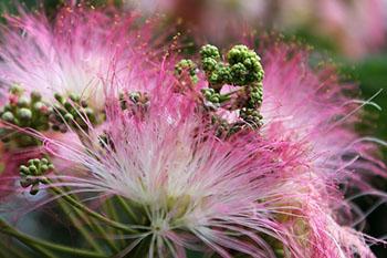 mimosa-fleur-ete-sud-france
