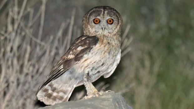 omani-owl