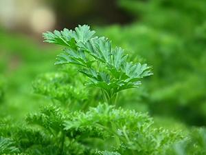 persil-jardin-vert-plante