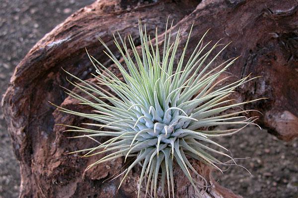 Tillandsia  ces mystérieuses plantes sans racine