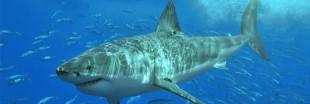 Sauvons les requins du massacre !