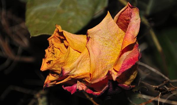 rose-fleurs-fanees-jardin-bio-02
